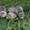 Щенки хорька из Усадьбы в Кузовлево #1480318
